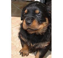 Cute Fluffy Female Rottweiler Pup Falling Asleep Photographic Print