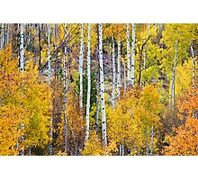 Aspen Tree Magic Photographic Print