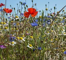 A field of wild flowers by Judi Lion
