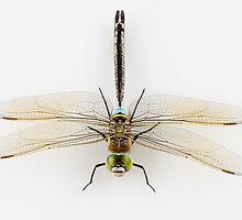 Dragonfly Anax parthenope isolated on white background by paulrommer