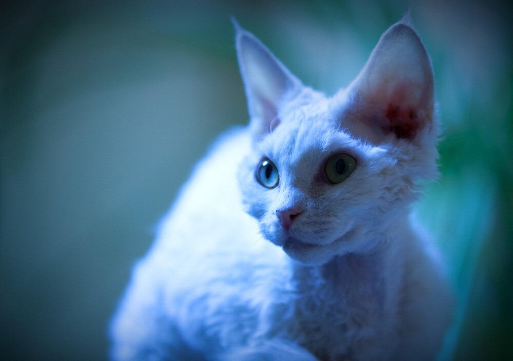 Devon Rex Cat (LX Poster) by Chris Porteous