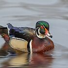 Wood Duck (Male) 1 by KatMagic Photography