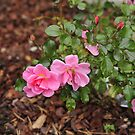Nearly winter and still roses in my garden by julie08