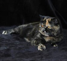 Milly - Tortie Tabby Exotic Shorthair Cat by simpson-stuff