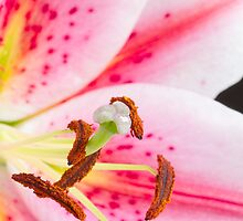 Close up pink and white lily by sc-images