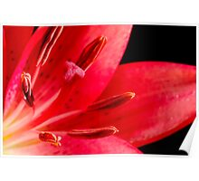 Dark pink lily Poster