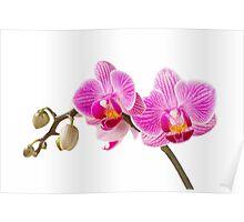 Phalaenopsis; moth orchid flowers Poster