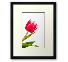 Single pink tulip Framed Print