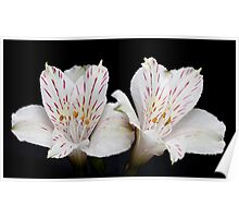 Two Alstroemeria flowers Poster