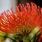Red protea in a bunch by bubblehex08