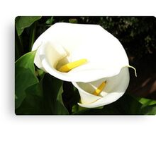 Beautiful White Calla Flowers In Bright Sunlight Canvas Print