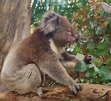 Koala Bear by lezvee