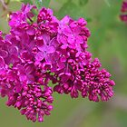 Lilacs After the Rain by Kathi Arnell
