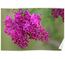 Lilacs After the Rain Poster