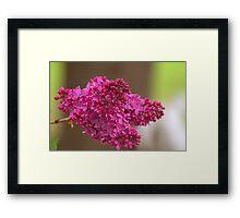 Lilac Stem Framed Print
