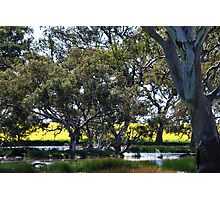 Oz Countryside...canola framing eucalypts. Photographic Print