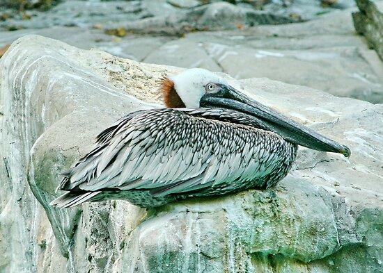 Pelican Brief !! by AnnDixon