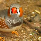 Zebra Finch by Michelle Ricketts