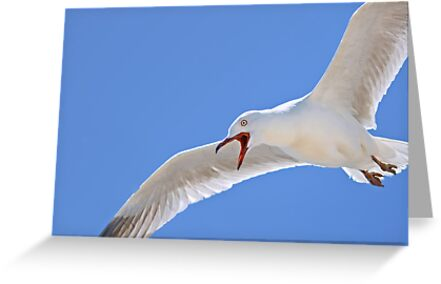 Grumpy Silver gull by Jennie  Stock
