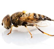 Eristalinus taeniops hoverfly isolated oin white background by Pablo Romero