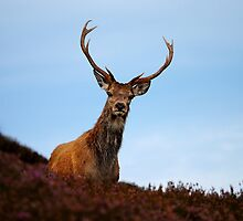 Red deer stag by Macrae images