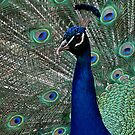 Peacock show off by collpics