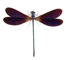 Blue dragonfly species Vestalis luctuosa by paulrommer