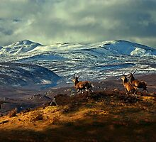 Stags at Strathglass by Macrae images