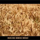 Darling Downs Wheat by pedroski