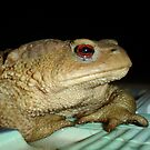 European Common Toad by Poolside At Night by taiche