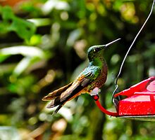 Proud Hummingbird by Al Bourassa