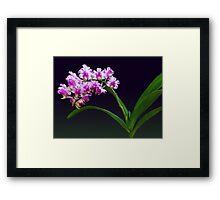 Aerides Lawrenciae X Odorata Orchid Framed Print