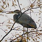 Blue Heron in a Tree - West Chester Ohio by Tony Wilder