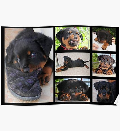 Collage Of Cute Female Rottweiler Puppy Poster