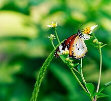 Butterfly feeding by HongCherh