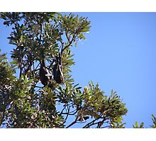 Fruit Eating Flying Fox hanging in the Banksia trees. Evans Head. Photographic Print