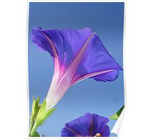 Single Ipomoea Purpurea Against Blue Sky Poster