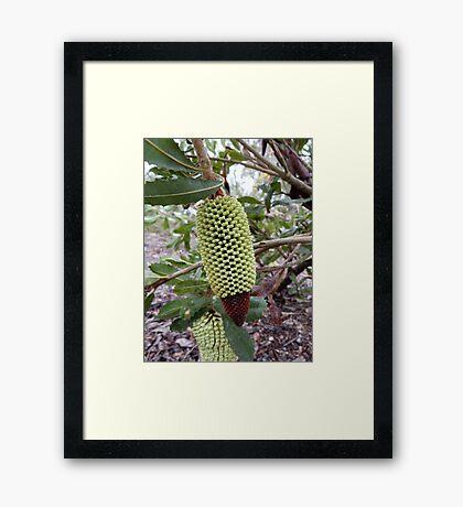 Banksia lemmaniana - Mt Barker, WA Framed Print