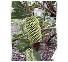 Banksia lemmaniana - Mt Barker, WA Poster