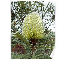 Banksia speciosa at Mt Barker, WA  Poster