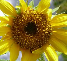 Volunteer Sunflower by jmc1313