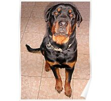 Portrait Of A Young Rottweiler Male Sitting Poster