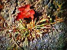 Scarlet on Stone by RC deWinter