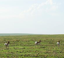 Antelopes at the Pawnee in Spring II by Camila Currea G.
