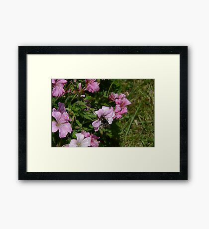 Pink Blossom And Bumble Bee Framed Print