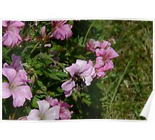 Pink Blossom And Bumble Bee Poster