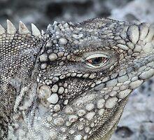 Spiny Tailed Iguana by Kat Augustine