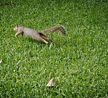 Squirrel jumping by Camila Currea G.