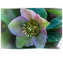 Hellebore. Poster