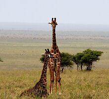 Room with a view  - Pair of Giraffe's on Naabi Hill - Serengeti Tanzania by john  Lenagan